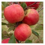 Organic Red Falstaff (r) Apple Trees