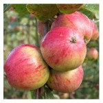 Organic Yarlington Mill Cider Apple Tree