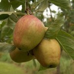 Organic Pearmain Dessert Apple – Semi Dwarf