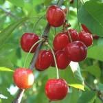Organic Summersun Cherry Tree